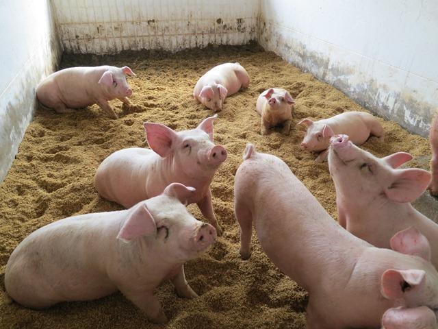 愛農ナチュラルポークは3月に4頭の出荷が決まりました