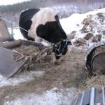 暴れ牛シチロウ君のカレーをいただく