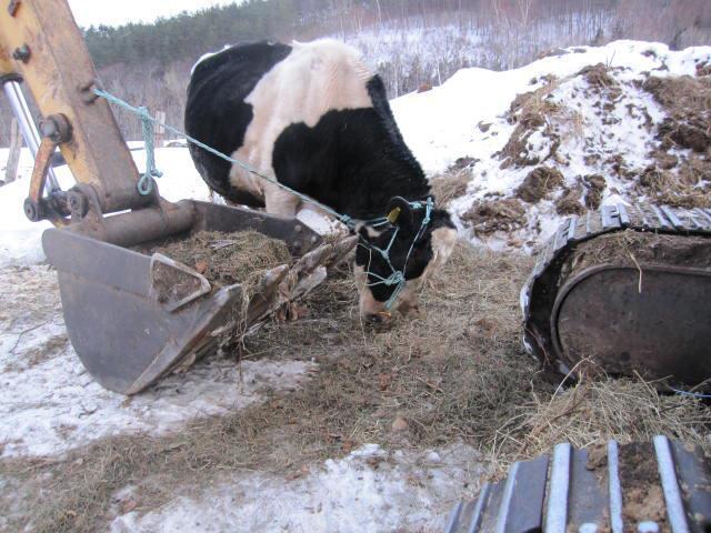 牛舎をも壊してしまう恐れからシチロウはユンボにつながれている。