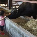 近江プレミアム牛、本日より出荷です