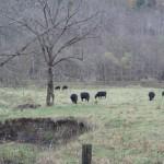 完全放牧野生牛は4月1日から一般販売開始です