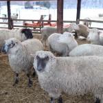 5月13日は茶路めん羊牧場のヒツジちゃんがクレメンティアに登場