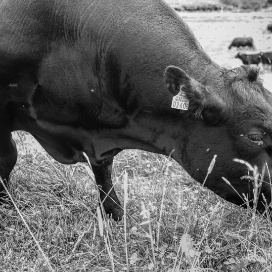 ジビーフ一般販売前に改めてジビーフとはどのような経由の肉なのかを知っていただきたい