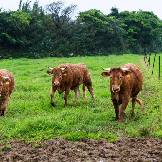 石垣島からあか牛が間もなく到着