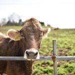 テーマは吉田牧場、ブラウンスイス牛に悪戦苦闘中