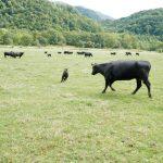 ジビーフ定期便まずは3か月間、完全放牧でガシガシの赤身好きな健康志向な方におすすめ