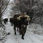 せたな町の村上牧場さんからブラウンスイス牛が届きました