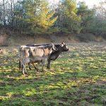 経産牛を再肥育して価値ある肉へ
